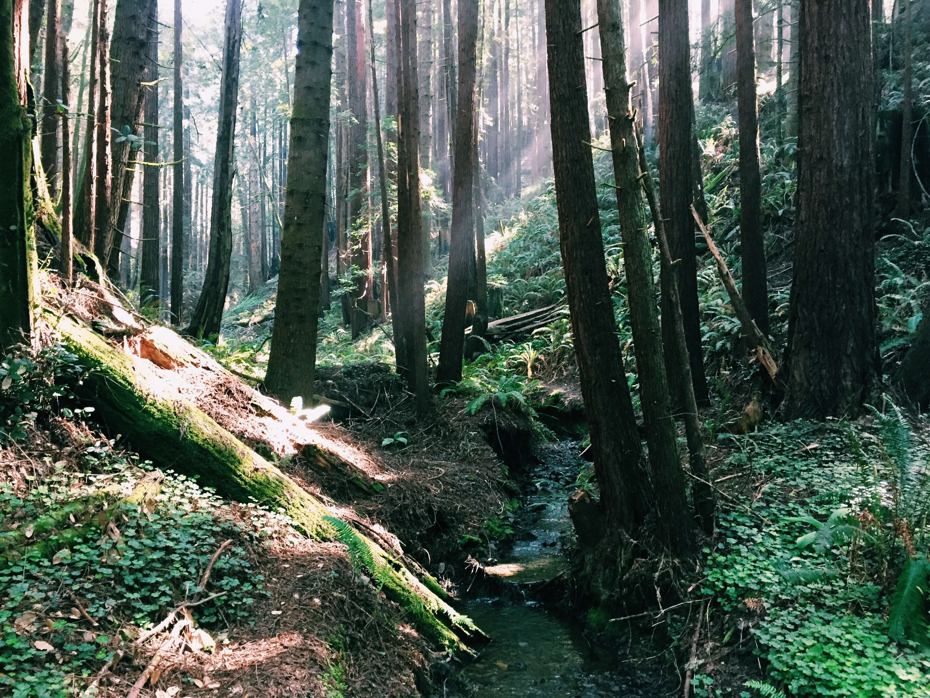 The Sea Ranch Forest Ravine