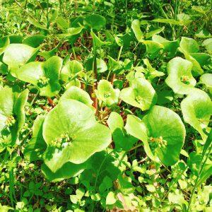 Miner's Lettuce, photo by Tasty Decoy